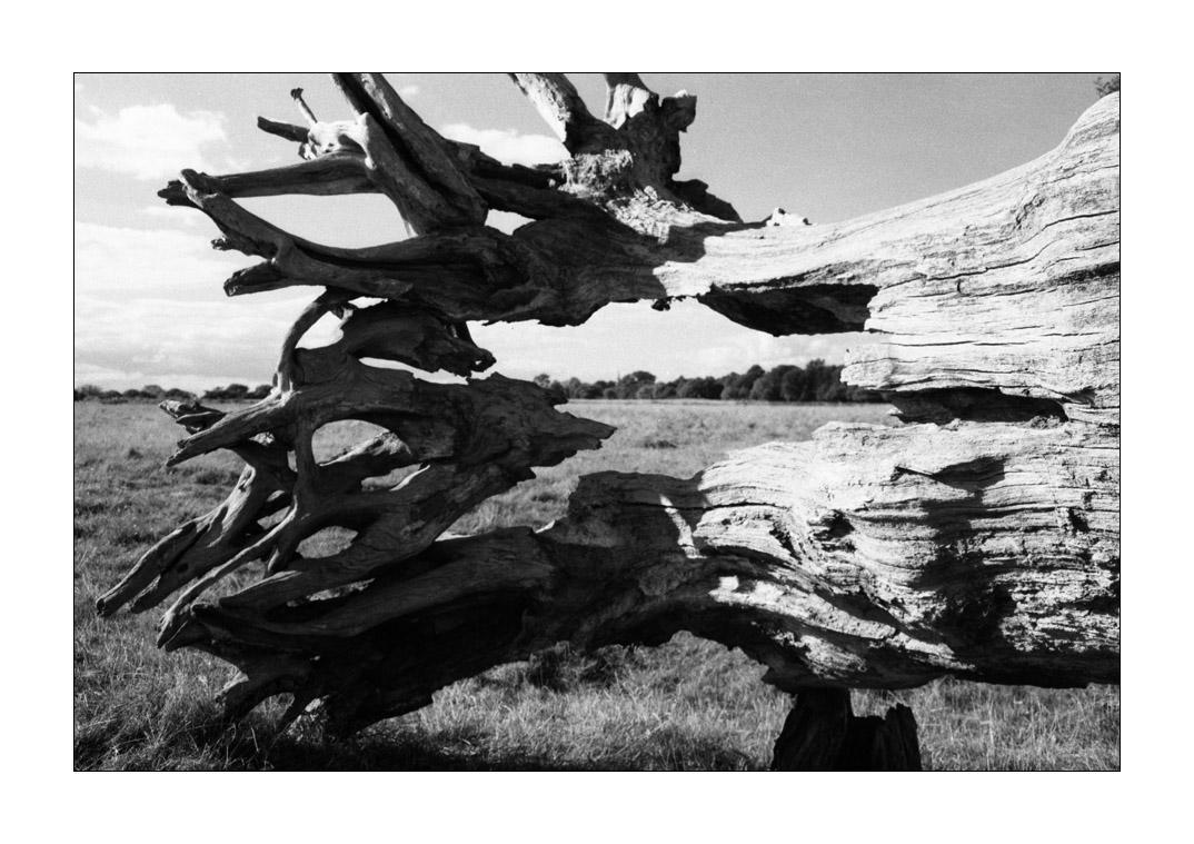 Fallen Tree in Richmond Park by ash