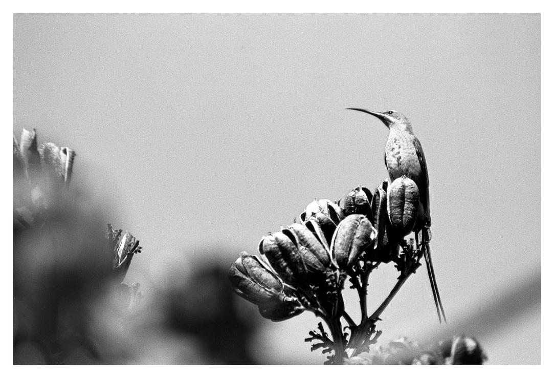 Sunbird on Agave by ash