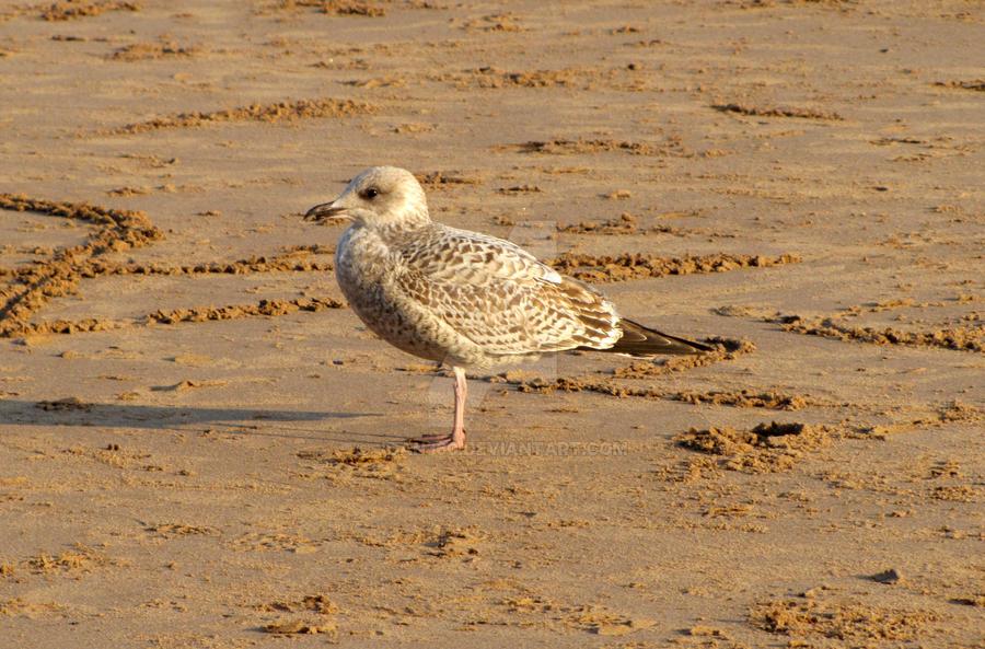 Baby Seagull on Devon Beach by Jdan360 on DeviantArt