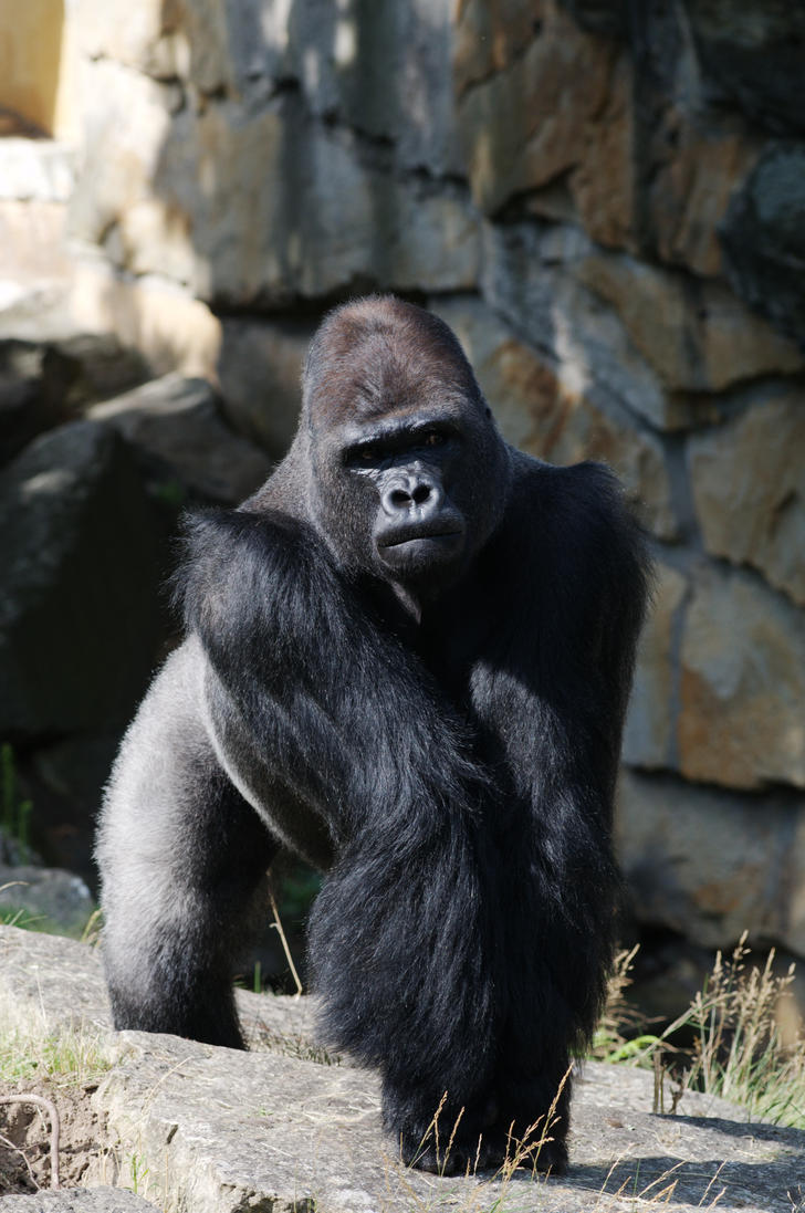 angry gorilla by M-Flame on DeviantArt - photo#19