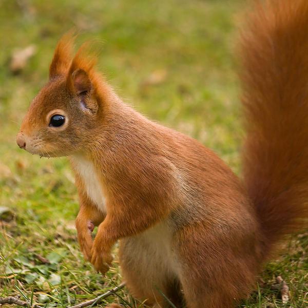 Mr Squirrel by Linkineos