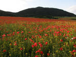 Stock- Poppy field 2