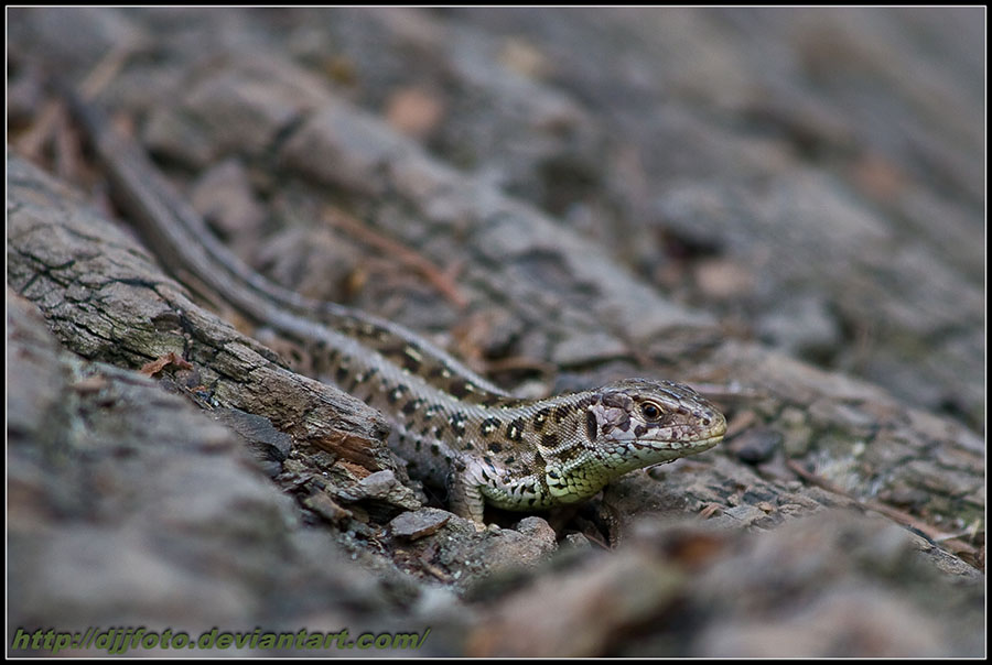 Little lizzard by DjjFoto