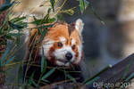 Red panda closeup by DjjFoto