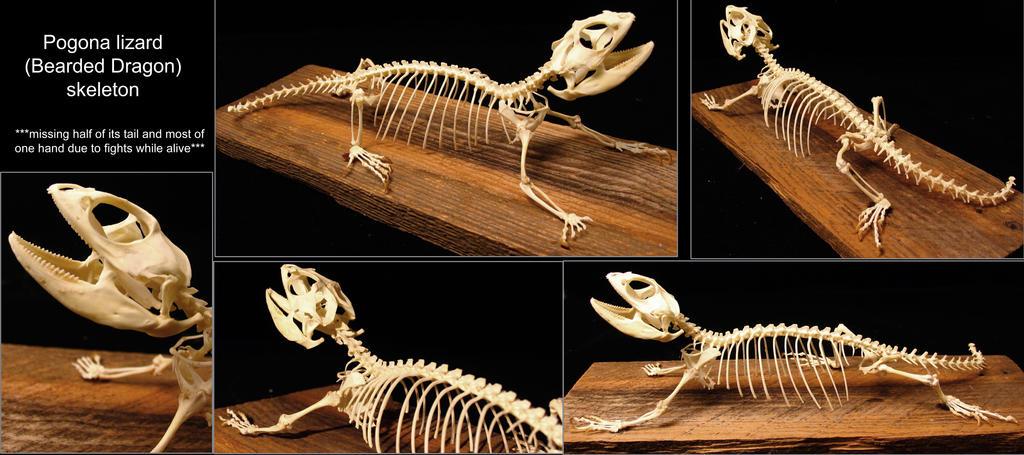 Bearded Dragon Skeleton By Bluescuriosities On Deviantart