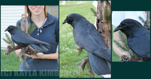 Mounted Crow: Nevermore