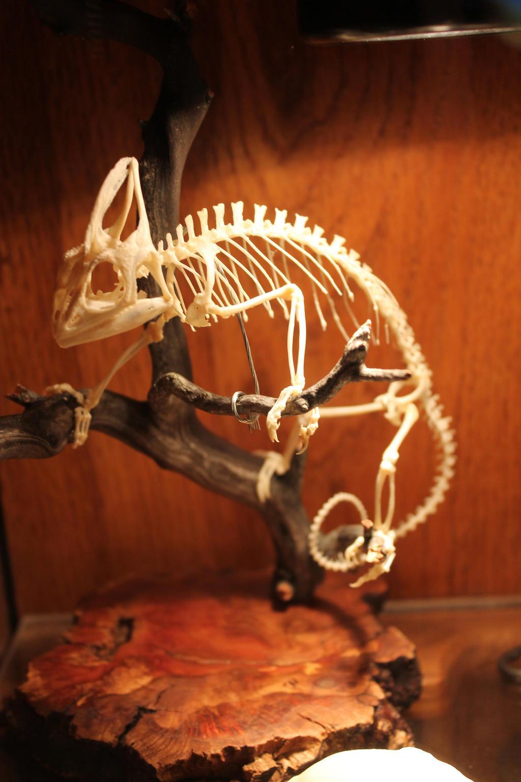 Veiled chameleon skeleton - photo#40