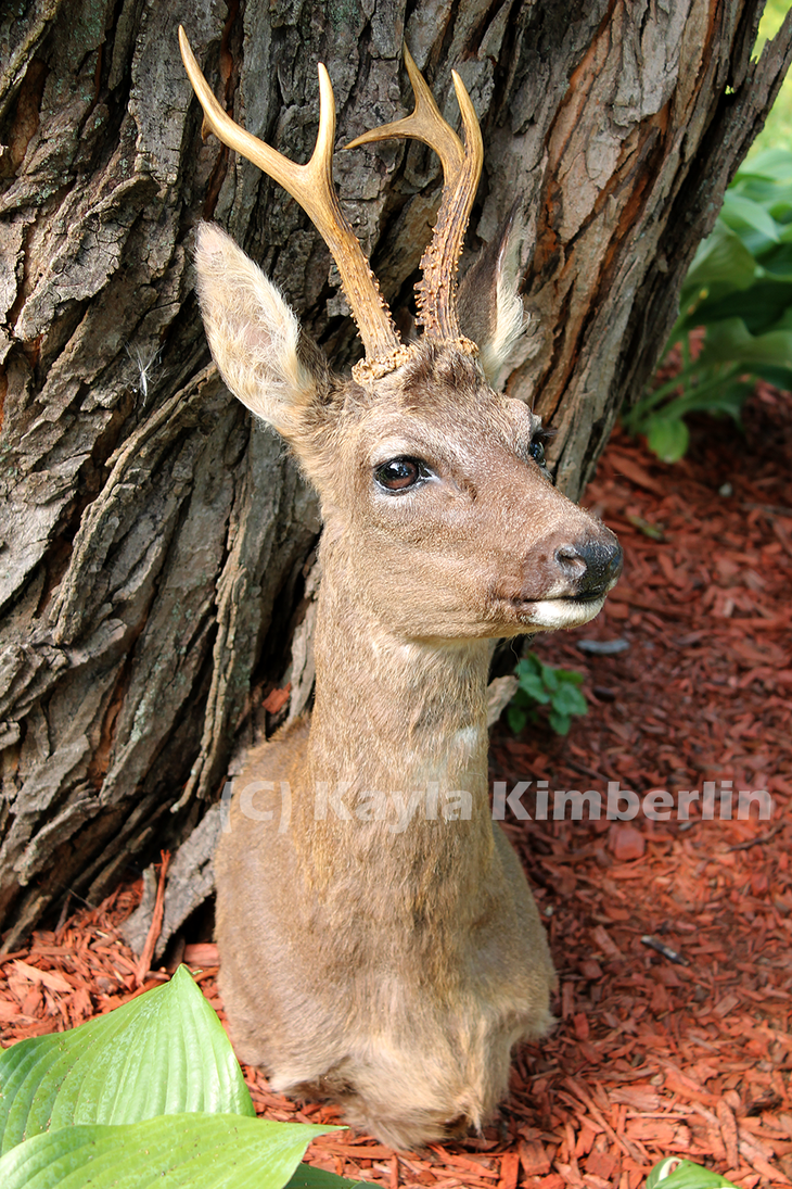 Personal Collection: Roe Deer by BluesCuriosities