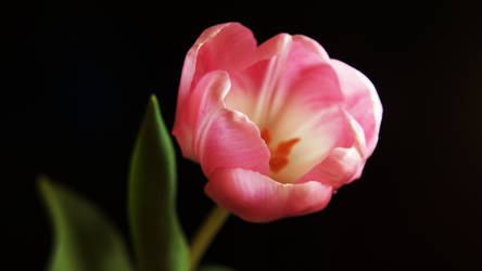 Tulip on women's day