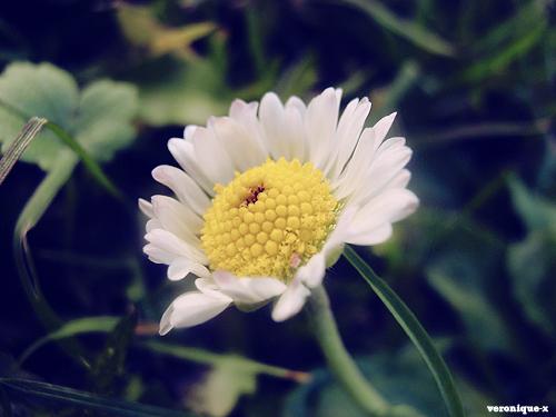 http://fc07.deviantart.net/fs50/f/2009/320/f/b/daisy_by_veronique_x.jpg