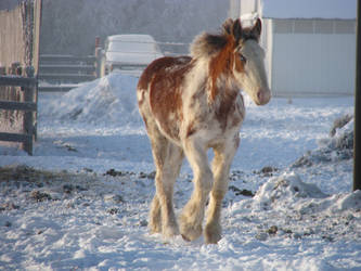 Clydesdale Yearlings 12 by okbrightstar-stock
