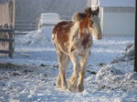 Clydesdale Yearlings 12