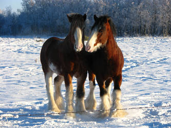 Clydesdale Geldings 10 by okbrightstar-stock