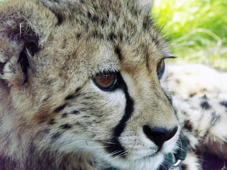 ICDC Cheetah Pic by k-waldo