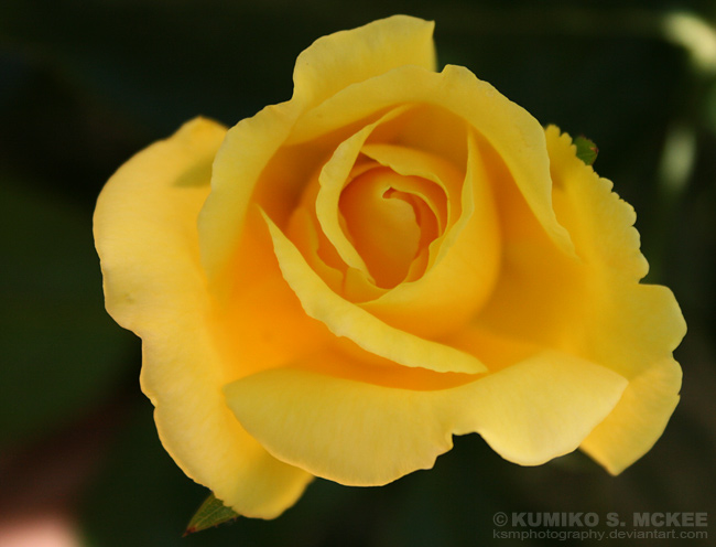 Yellow Rose 3 by KSMPhotography