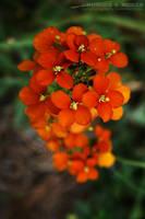 Sanddune Wallflower 2