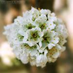 Plum Blossom 10