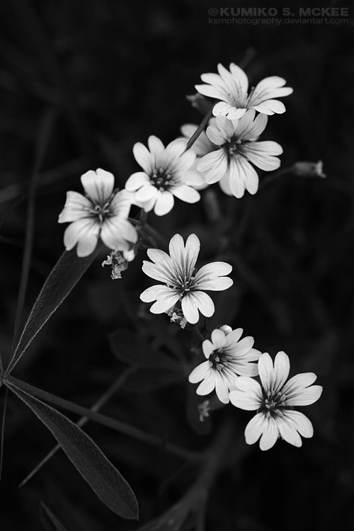 Field Chickweed - BW by KSMPhotography