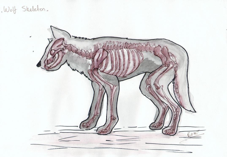 Wolf Anatomy: Skeleton by Tebyx on DeviantArt