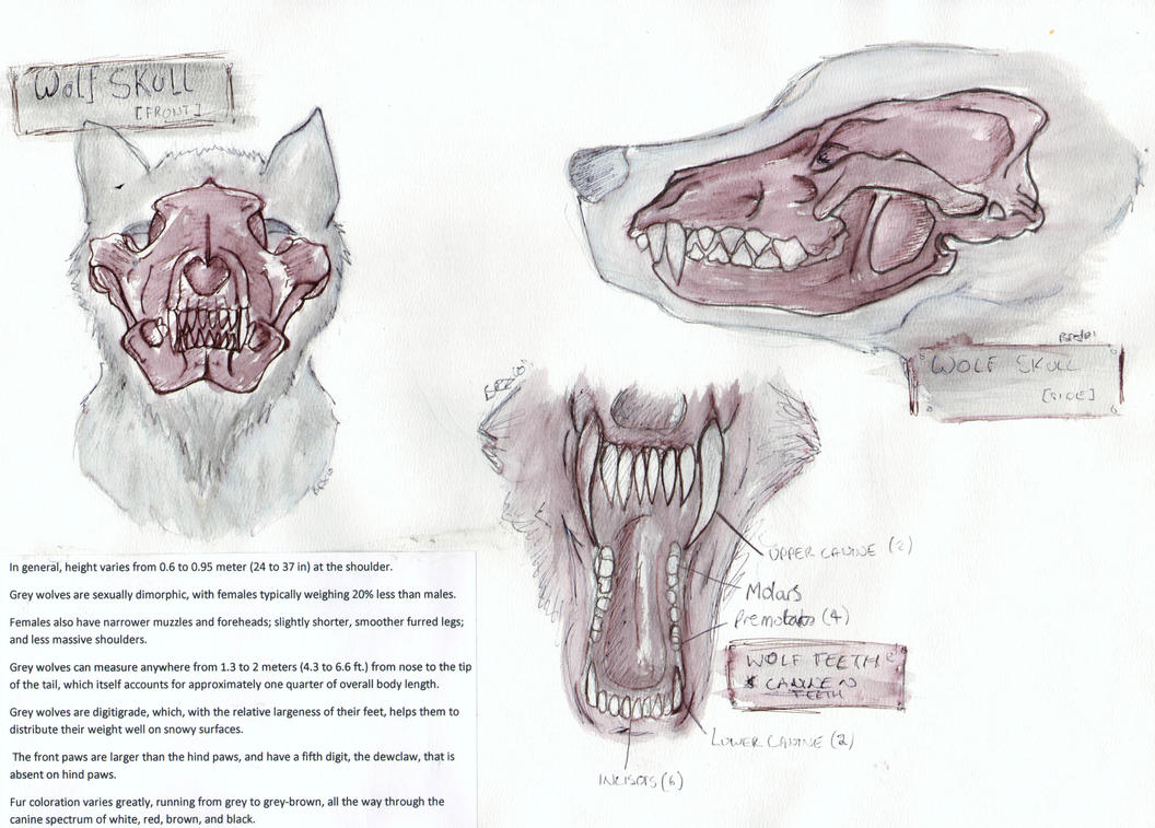 Wolf Anatomy: Skull: Teeth by Tebyx on DeviantArt