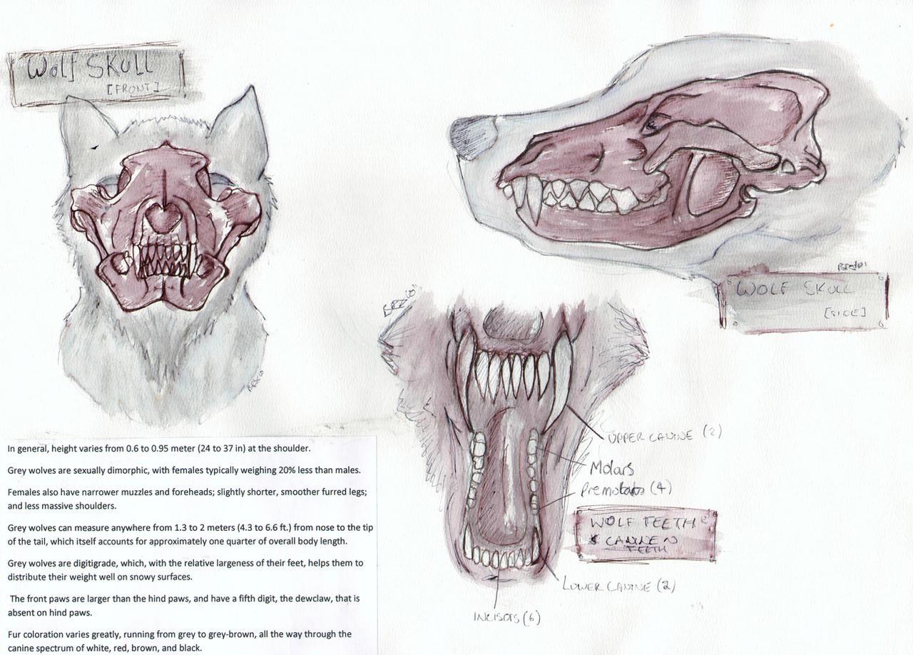 Wolf Anatomy Skull Teeth By Tebyx On Deviantart