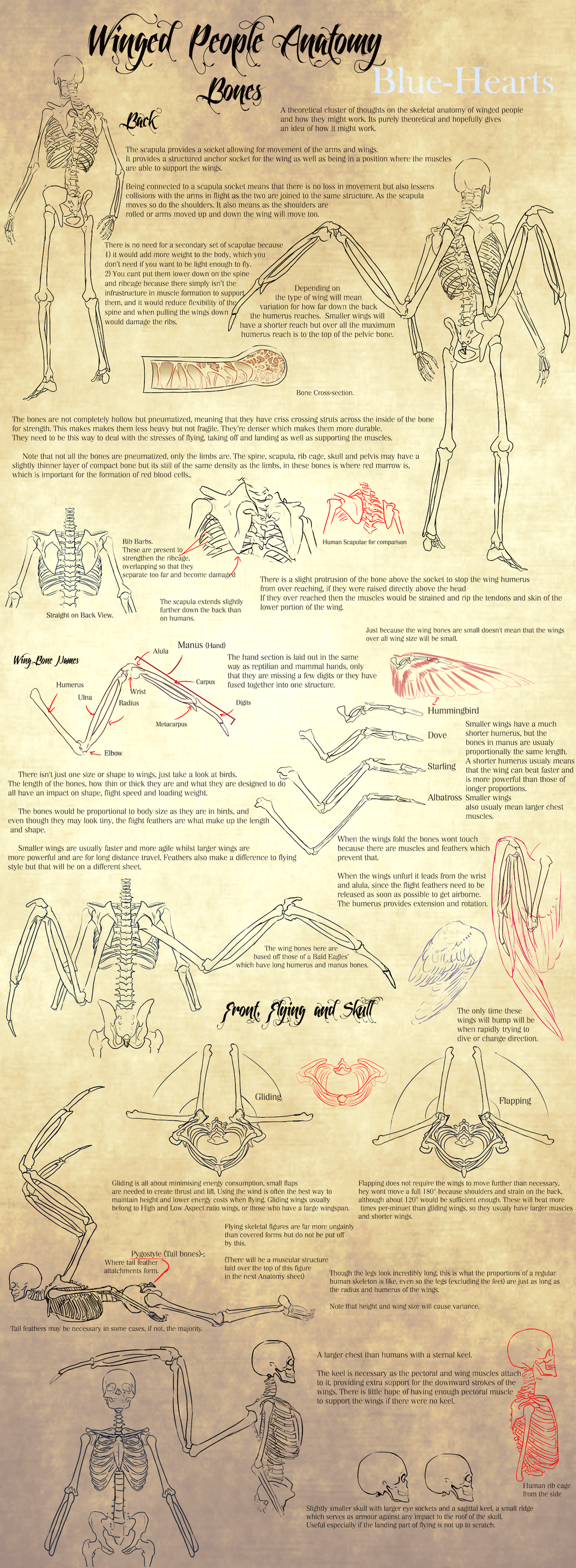Winged People Anatomy: Bone Structure. by Blue-Hearts