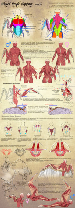 Winged People Anatomy: Muscles
