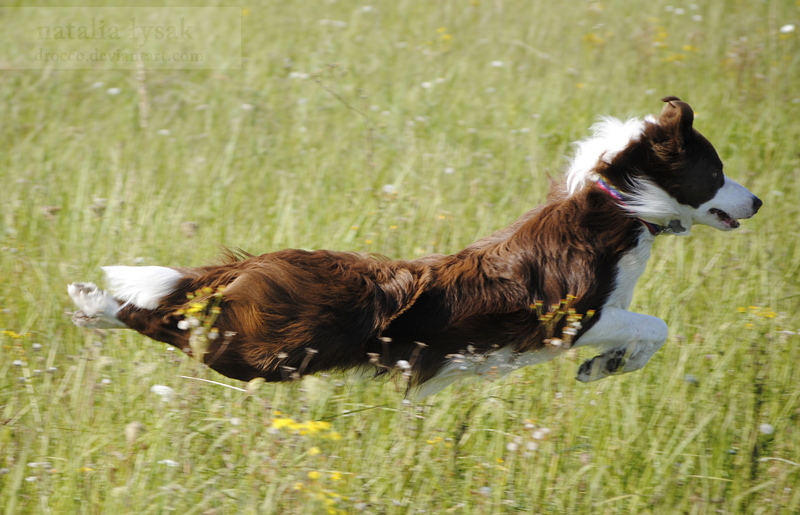 Fly border collie by Drocco