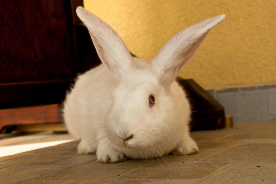 white bunny by szorny-stock