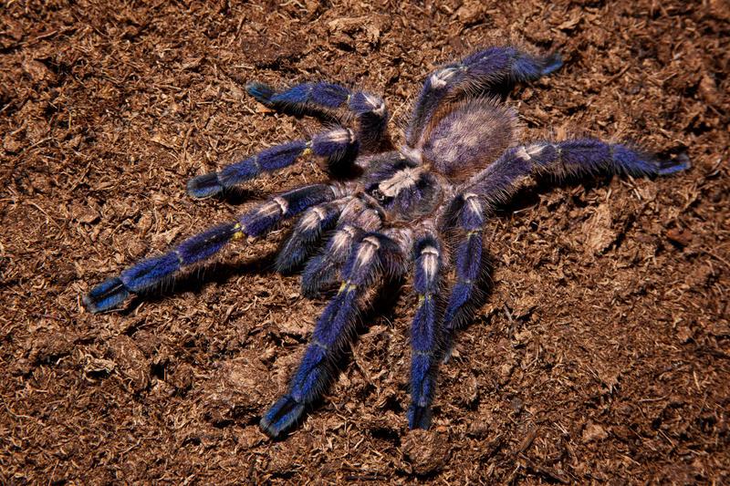Metallic blue spider by szorny-stock