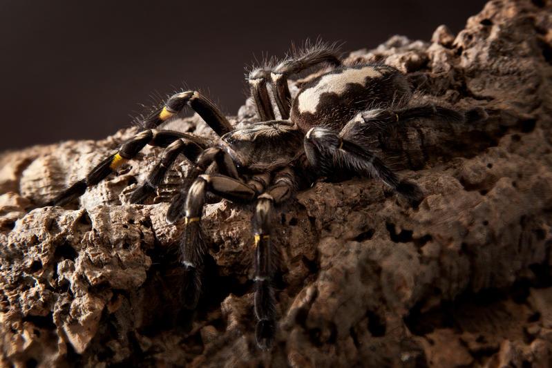 Gooty tarantula by szorny-stock