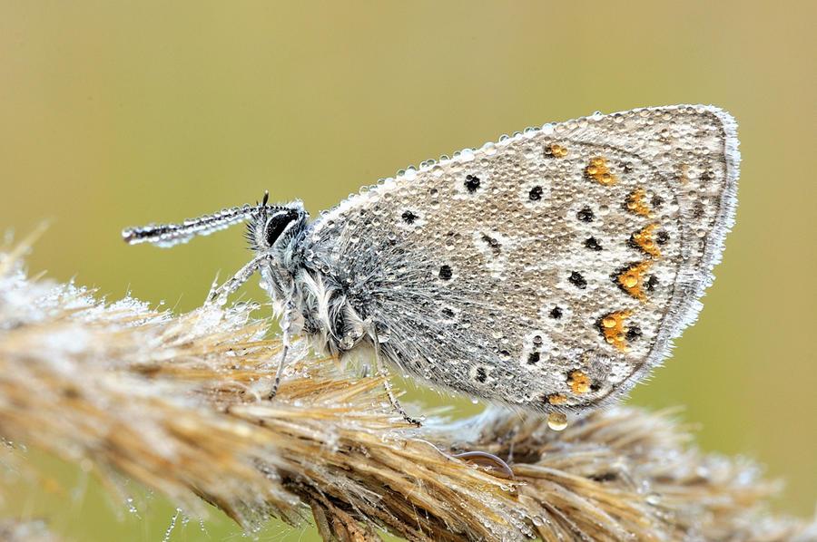 74.Polyommatus icarus by Bulinko