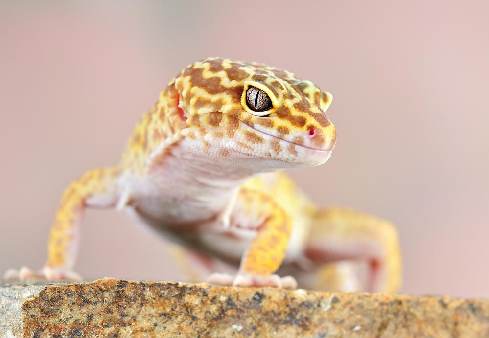 Leopard Gecko by Bulinko