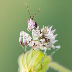 Pseudocreobotra wahlbergi (11) by Bulinko