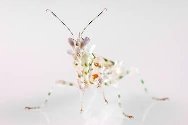 Pseudocreobotra wahlbergi (3) by Bulinko