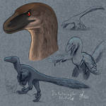 Dakotaraptor sketches