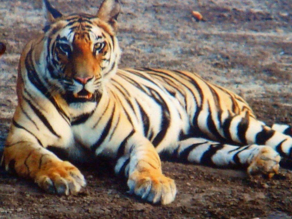 Majestic Tiger by Jaiveer on DeviantArt
