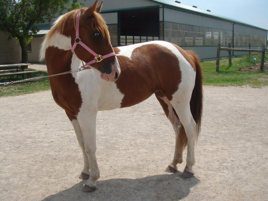 Pinto Horse Pinto Horse 1 by