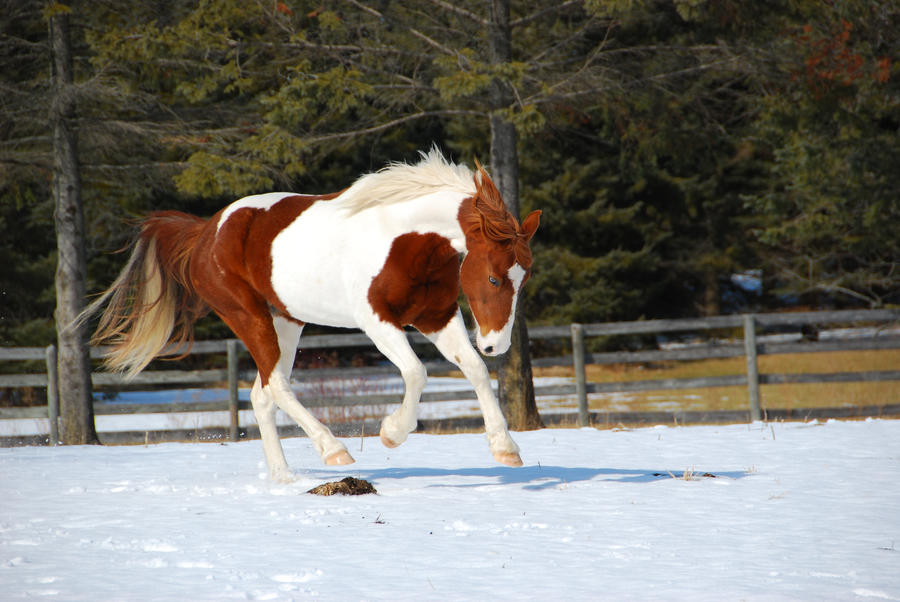 pinto horse pictures submited - photo #1