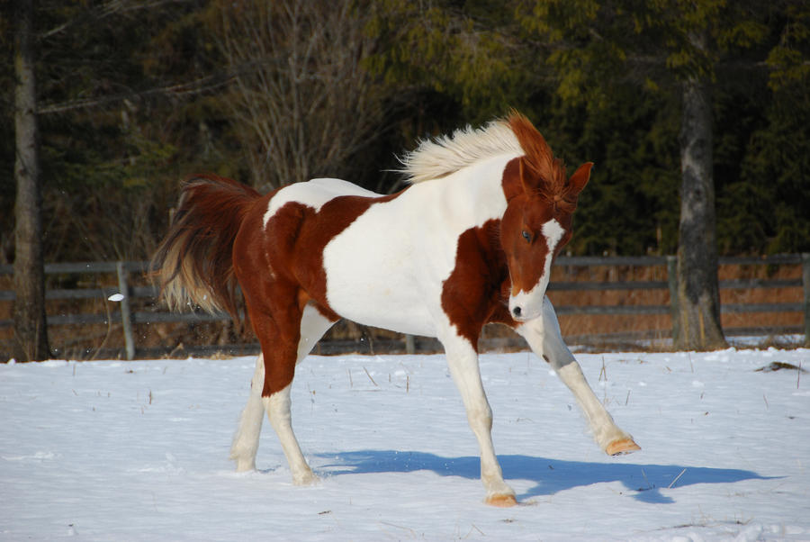 Pinto Horse Pictures Pinto Horse 14 by