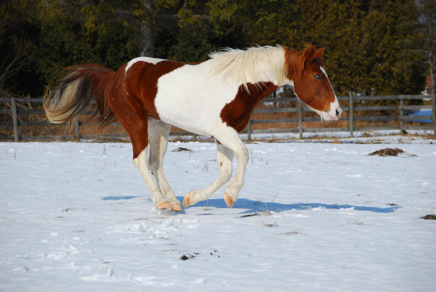 Pinto Horse Pictures Pinto Horse 17 by
