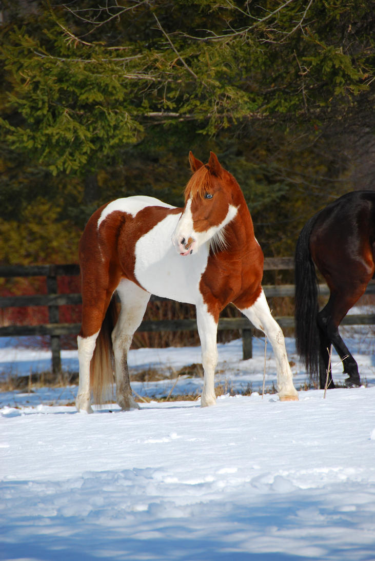 Pinto Horse Pictures Pinto Horse 20 by