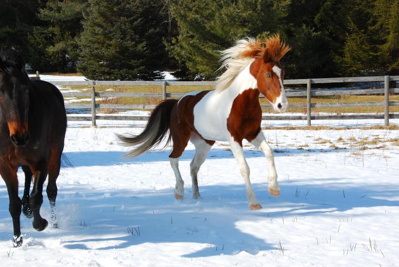 Pinto Horse Pinto Horse 21 by
