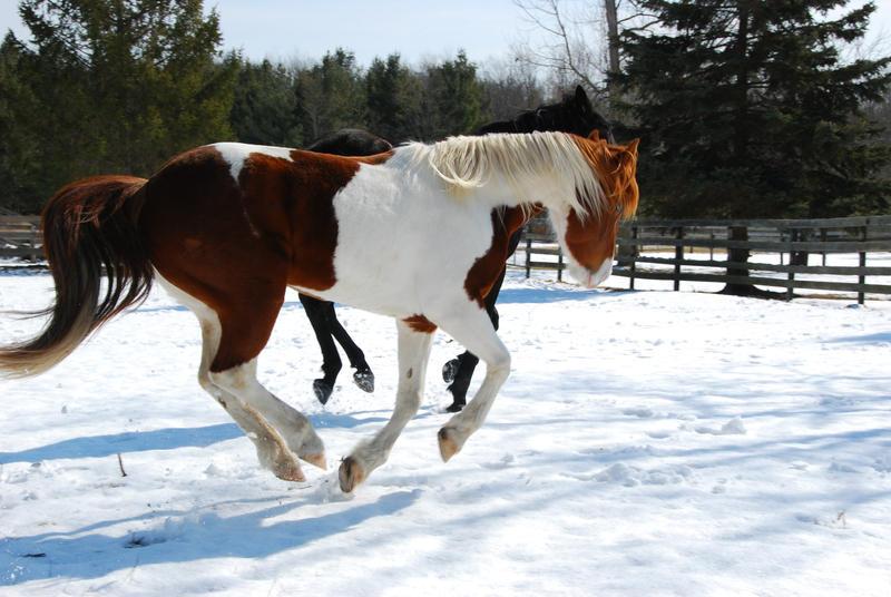 Pinto Horse Pinto Horse 24 by