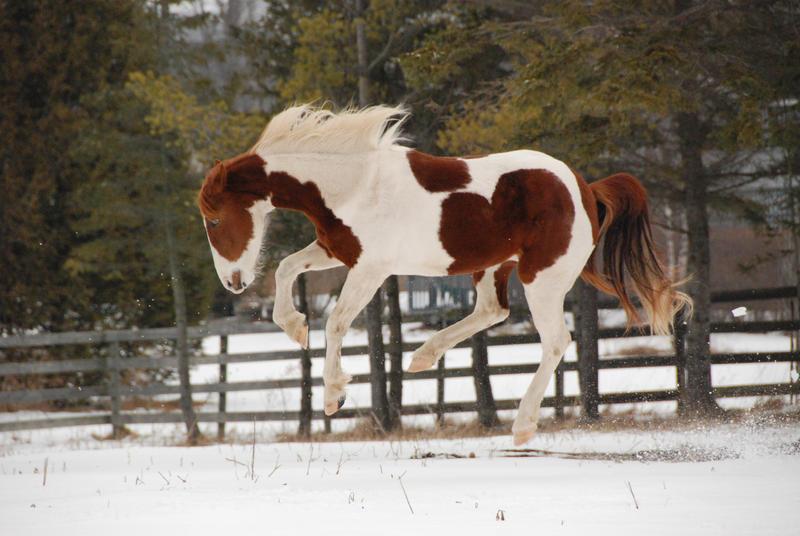 Pinto Horse Pinto Horse 25 by