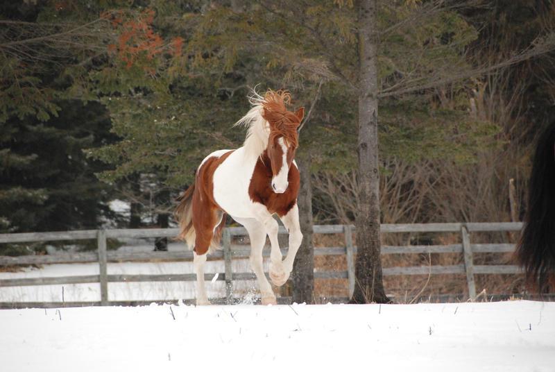 Pinto Horse Pinto Horse 27 by