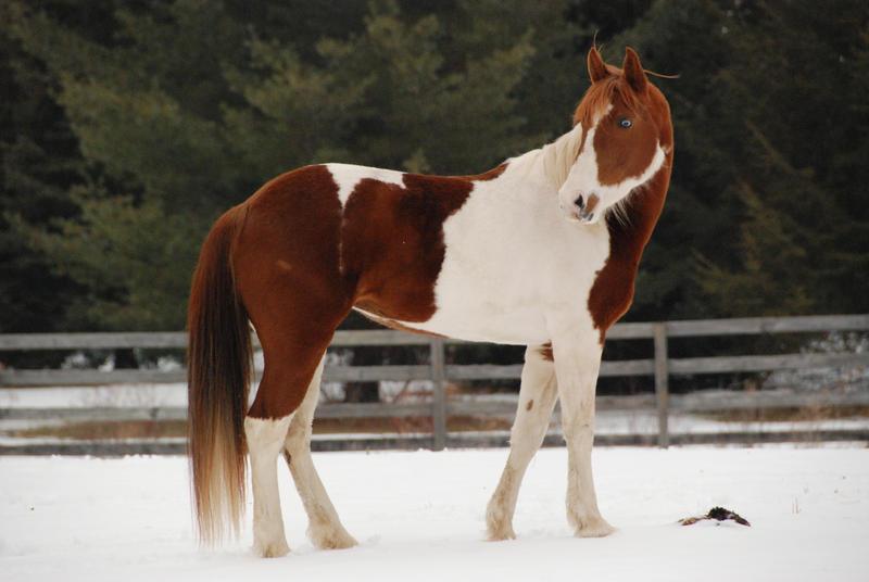 Pinto Horse Pinto Horse 30 by