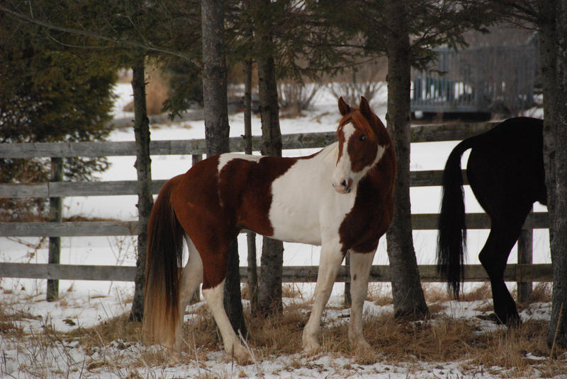 pinto horse pictures submited - photo #35