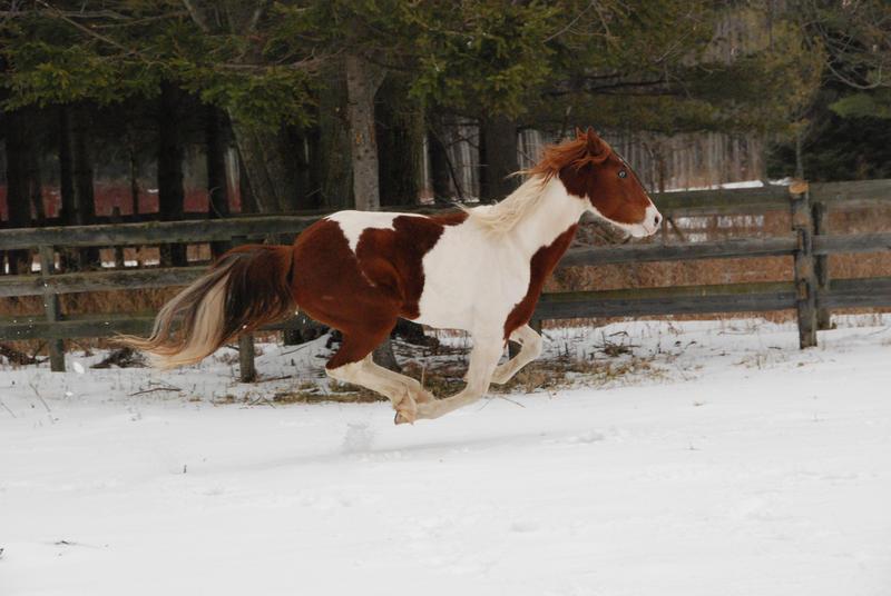 Pinto Horse Pinto Horse 36 by