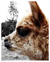 Baby Alpaca 3 by EquineRhythm